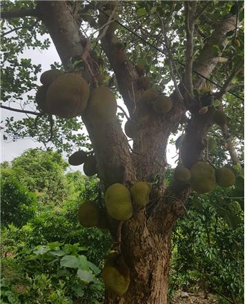 홍콩이 열대성 날씨를 확인 시켜주는 Jackfruit가 풍성하게 자라고 있다.