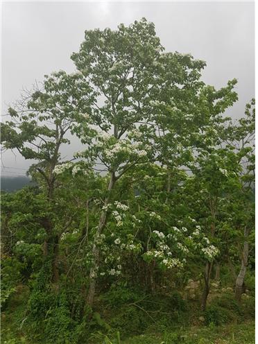 5미터는 됨직한 큰 나무가 만발한 꽃송이로 덮혀 있다.